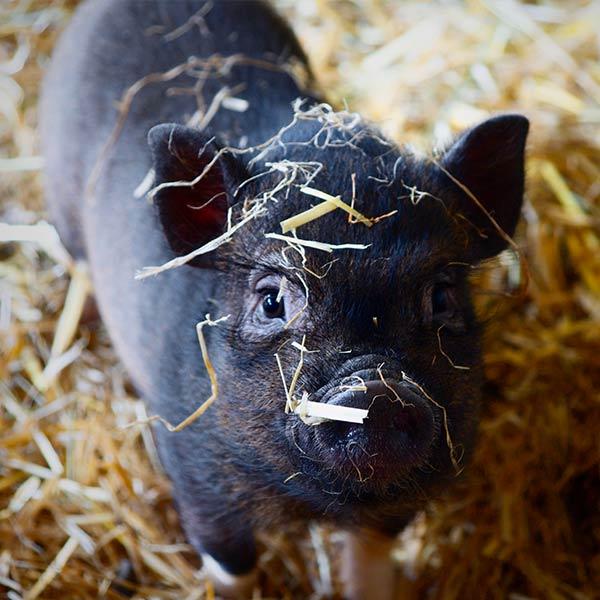 Kom på julemarked og mød grisene på Stougaarden i Sorring, Århus